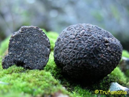 tuber-melanosporum