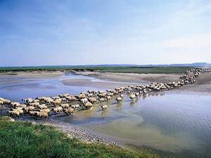 moutons_en_baie_crt_picardie_sam_bellet_large