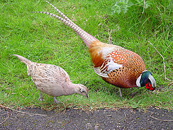 250px-Male_and_female_pheasant