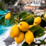 Amalfi lemon growers
